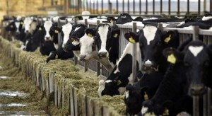Healthy Holstein dairy cows feed at a farm in central Washington in this December, 24, 2003 file photo. REUTERS/Jeff Green/Files