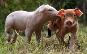 veganism-drepturile-animalelor