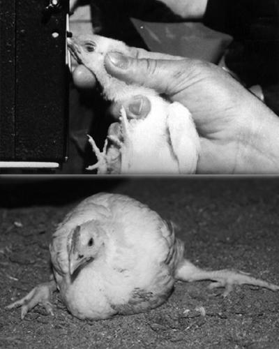 veganism-drepturile-animalelor4