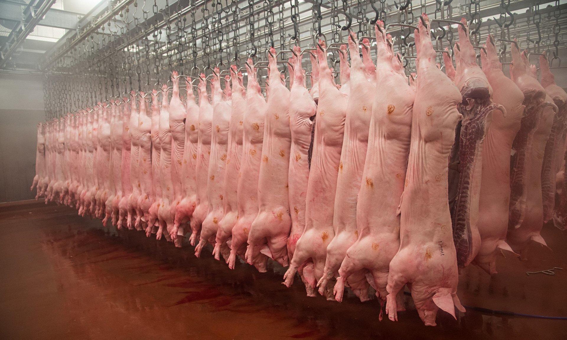 carcase de porc in abatoare