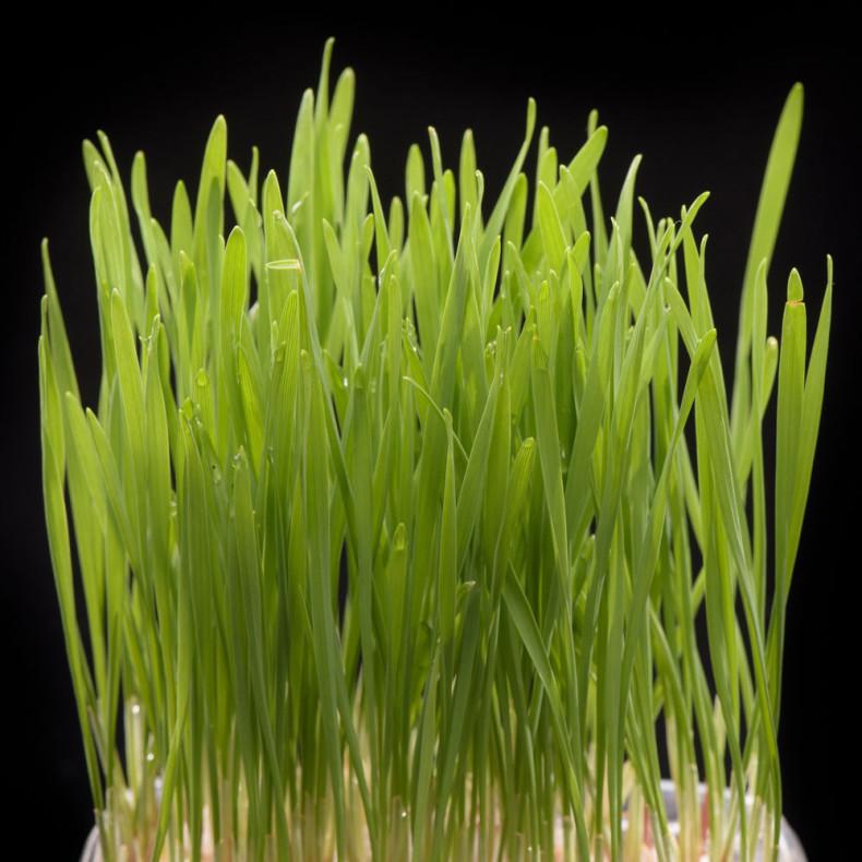 Iarba-grau-Microgreens-00-790x790
