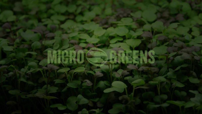 Microgreens-Romania