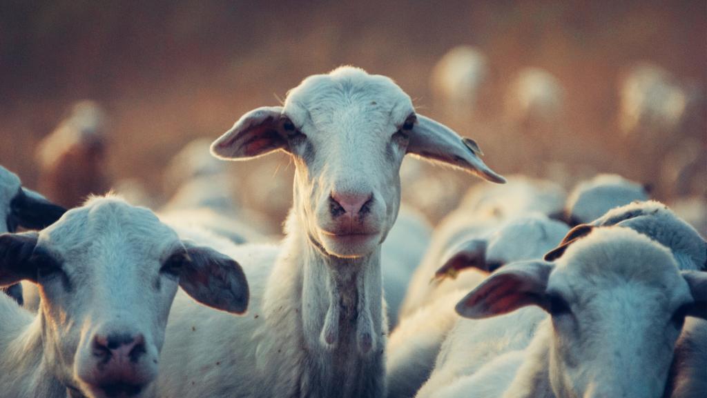 Fermele de creștere intensivă a animalelor sunt bombe neexplodate de zoonoze
